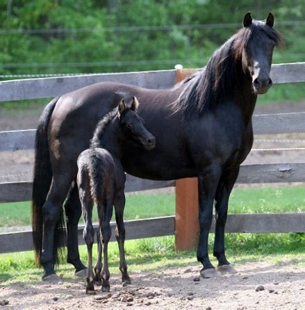839 best images about Morgan Horses on Pinterest | Stables