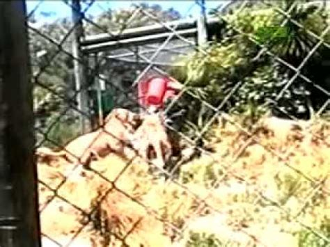 Lions Maul Zookeeper - YouTube