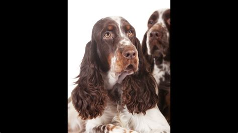 Springer Spaniel - YouTube