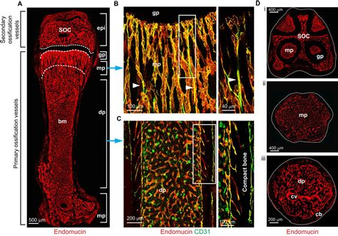 Blood vessel formation and function in bone | Development
