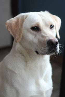 labrador retriever puppies for sale, chocolate labs for