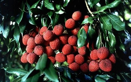 Children in India 'killed by lychees' - Telegraph