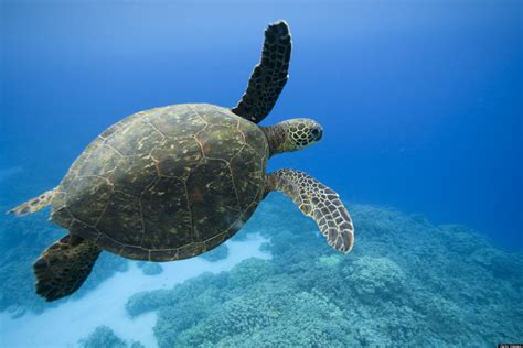 Sea Turtle Documentary Produced By Pace University