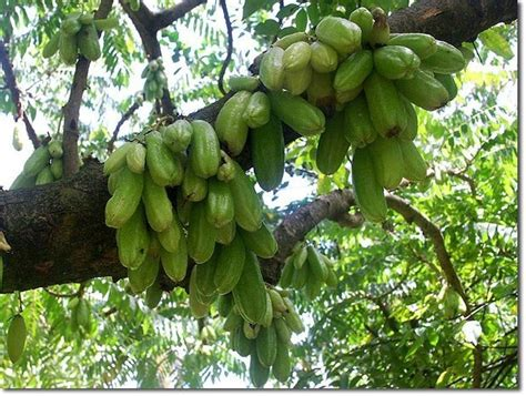 Minor and Uncultivated Fruits of Eastern India