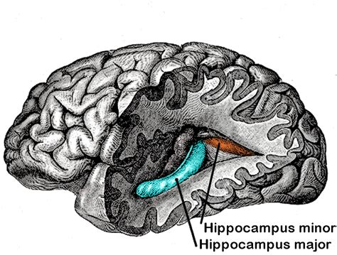 Great Hippocampus Question - Wikipedia