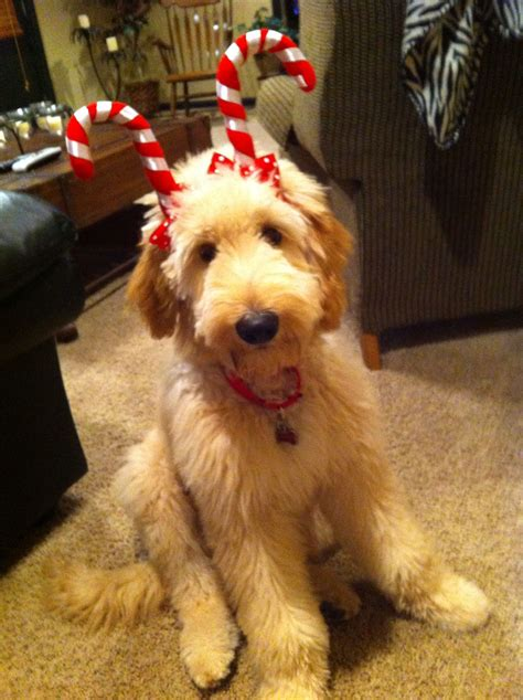 Goldendoodle Deer - my parents have the cutest dog in the