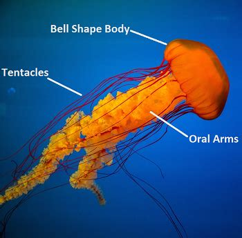 Jellyfish Lesson for Kids: Definition & Facts   Study