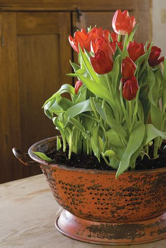 The big chill: Learn a few tricks for forcing tulip bulbs
