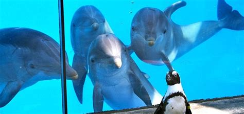 Dolphins fascinated by penguin - Dolphin Way