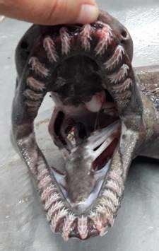 This Shark From Prehistoric Times Is Back To Freak Us All