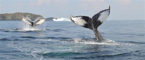 Whale Watching off the Coast of Newfoundland | Keep Exploring